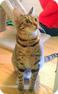 Domestic Shorthair Cat for adoption in San Leandro, California - Kiki