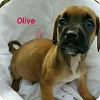 Adopt A Pet :: Olive - Marlton, NJ