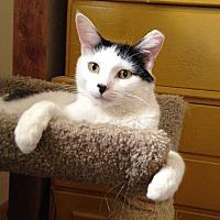 Adopt A Pet :: Pinto - Lombard, IL