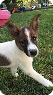 German Shepherd Dog/Terrier (Unknown Type, Medium) Mix Puppy for adoption in WESTMINSTER, Maryland - Kinicki