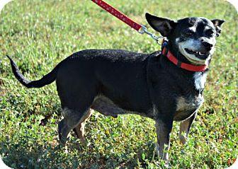 Chihuahua/Miniature Pinscher Mix Dog for adoption in Yreka, California - Leonard