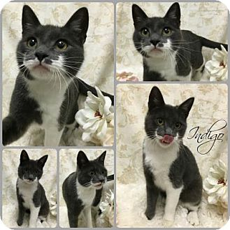 Domestic Shorthair Cat for adoption in Joliet, Illinois - Indigo