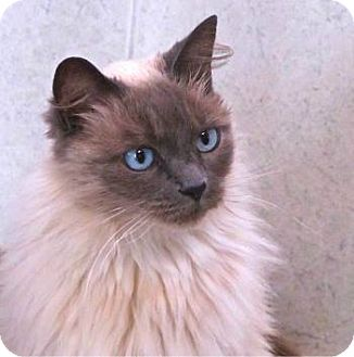 Ragdoll Cat for adoption in Davis, California - Precious