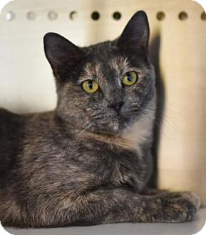Domestic Shorthair Cat for adoption in Reisterstown, Maryland - Winifred