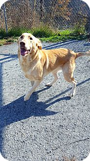 Golden Retriever/Labrador Retriever Mix Dog for adoption in Fairmont, West Virginia - Dolly