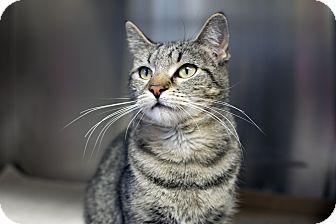 Domestic Shorthair Cat for adoption in Fremont, Nebraska - Sheba