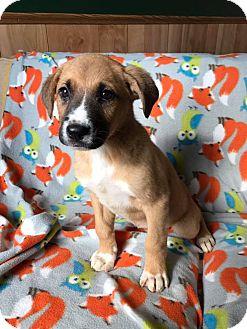 Labrador Retriever/Catahoula Leopard Dog Mix Puppy for adoption in Maryville, Missouri - SugarSnaps