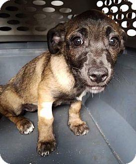 Terrier (Unknown Type, Medium) Mix Puppy for adoption in Gainesville, Florida - Claudette