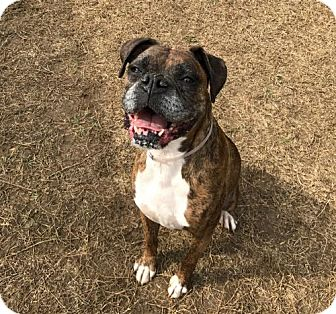 Boxer Dog for adoption in Brentwood, Tennessee - Molly