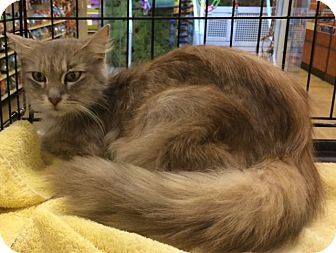 Maine Coon Cat for adoption in Cocoa, Florida - Alicia