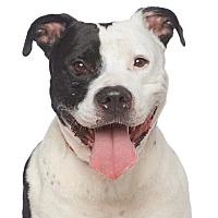 American Staffordshire Terrier Mix Dog for adoption in Los Angeles, California - Martigan