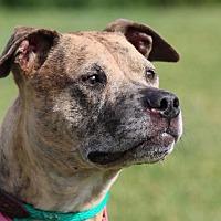 Adopt A Pet :: Harley - St. Charles, MO