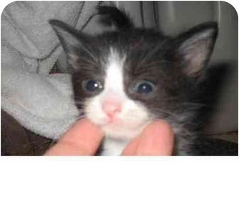 Domestic Shorthair Kitten for adoption in Cincinnati, Ohio - Tiny Tuxie Girl