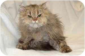 Persian Kitten for adoption in Farmington, Michigan - Young Persians
