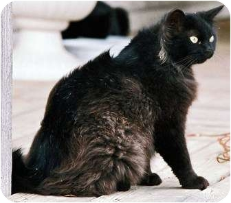 Domestic Longhair Cat for adoption in Parkton, North Carolina - Salem