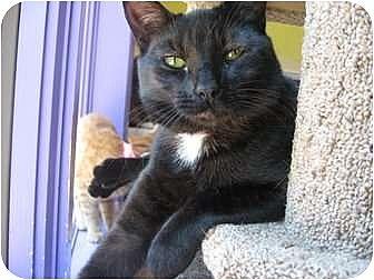 Domestic Shorthair Cat for adoption in Richboro, Pennsylvania - Iowa