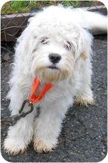 Cockapoo/Miniature Poodle Mix Dog for adoption in Seattle c/o Kingston 98346/ Washington State, Washington - Jace