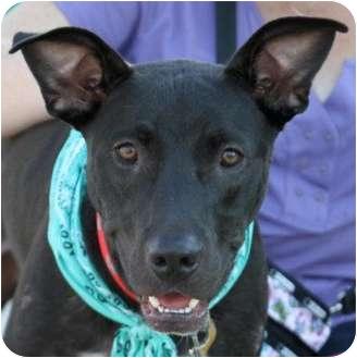 Labrador Retriever/Great Dane Mix Dog for adoption in Largo, Florida - MAX