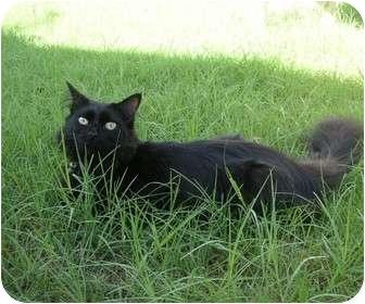 Domestic Mediumhair Cat for adoption in Phoenix, Arizona - CHELSEA