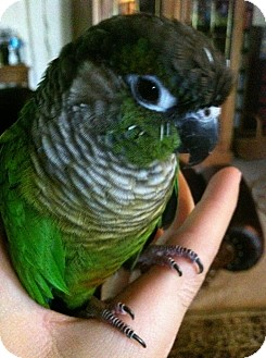 Conure for adoption in Skiatook, Oklahoma - Yoshi