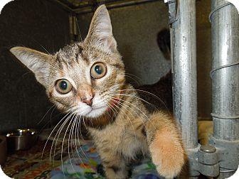 Domestic Shorthair Kitten for adoption in Medina, Ohio - Penny