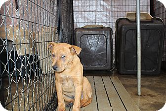 Labrador Retriever Mix Puppy for adoption in Henderson, North Carolina - Casey