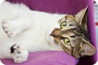 Domestic Shorthair Cat for adoption in Port Hope, Ontario - Onya