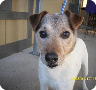 Jack Russell Terrier Dog for adoption in Dallas/Ft. Worth, Texas - Forsythe