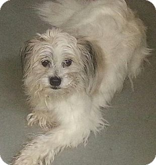 Lhasa Apso/Terrier (Unknown Type, Small) Mix Dog for adoption in North Olmsted, Ohio - Sharky