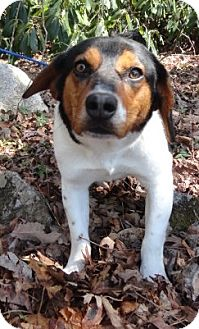 Beagle Mix Dog for adoption in Spruce Pine, North Carolina - Deputy Dog
