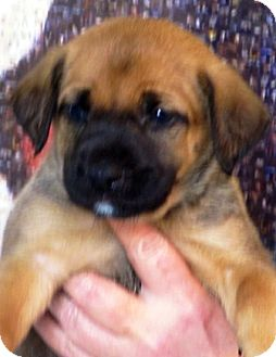 German Shepherd Dog/St. Bernard Mix Puppy for adoption in Oswego, Illinois - I'M ADPTD Sweets Truffles John