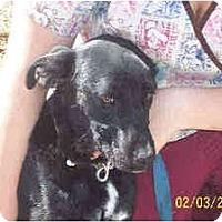 Adopt A Pet :: EBONY - latrobe, PA