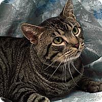 Domestic Shorthair Cat for adoption in St. Louis, Missouri - Sammy Hagar