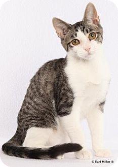 Domestic Shorthair Kitten for adoption in Las Vegas, Nevada - Iszack