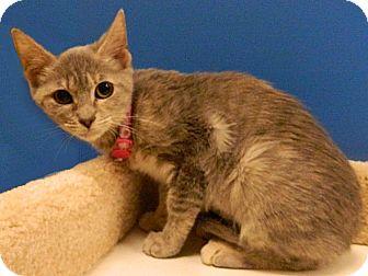 Domestic Shorthair Kitten for adoption in The Colony, Texas - Ferrari