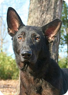 German Shepherd Dog Dog for adoption in Nashville, Tennessee - Ebony
