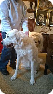 Great Pyrenees Dog for adoption in Minneapolis, Minnesota - Renee