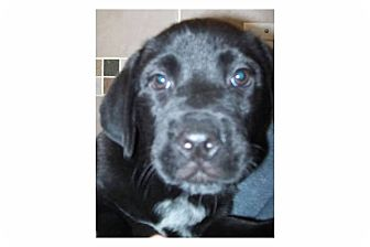 Labrador Retriever Mix Puppy for adoption in Pompton Lakes, New Jersey - Meredith