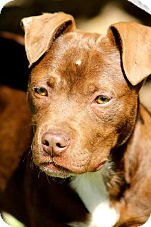 American Pit Bull Terrier Mix Puppy for adoption in Grand Rapids, Michigan - Uno