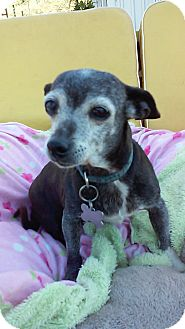 Chihuahua/Terrier (Unknown Type, Small) Mix Dog for adoption in Creston, California - Raquel