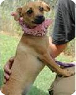 Dachshund Mix Dog for adoption in Woodlyn, Pennsylvania - Cindy