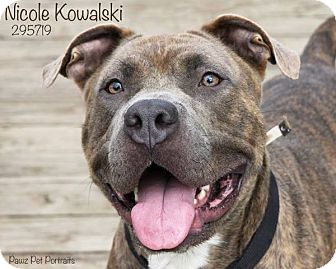 American Staffordshire Terrier/Terrier (Unknown Type, Medium) Mix Dog for adoption in Troy, Michigan - Nicole Kowalski