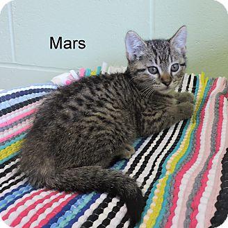 Domestic Shorthair Kitten for adoption in Slidell, Louisiana - Mars