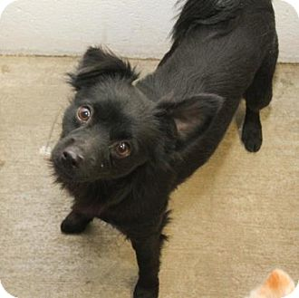 Chihuahua/Terrier (Unknown Type, Small) Mix Dog for adoption in Philadelphia, Pennsylvania - Fluffy
