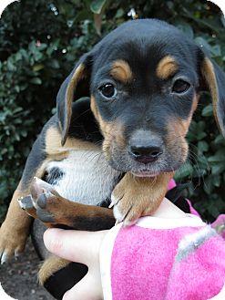Beagle/Dachshund Mix Puppy for adoption in Middleburg, Florida - Jada