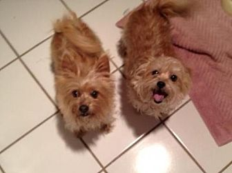 Yorkie, Yorkshire Terrier Mix Dog for adoption in Frisco, Texas - Elvis (and Priscilla)