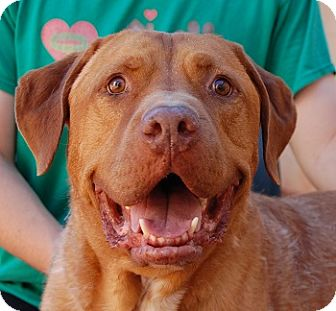 Plott Hound/Mastiff Mix Dog for adoption in Las Vegas, Nevada - Courage