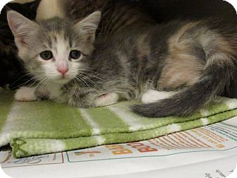 Domestic Shorthair Kitten for adoption in Windsor, Virginia - Whisper