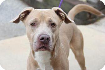 Pit Bull Terrier Mix Dog for adoption in Greensboro, North Carolina - Alfired