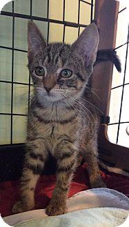 Domestic Shorthair Kitten for adoption in Breinigsville, Pennsylvania - Bambi